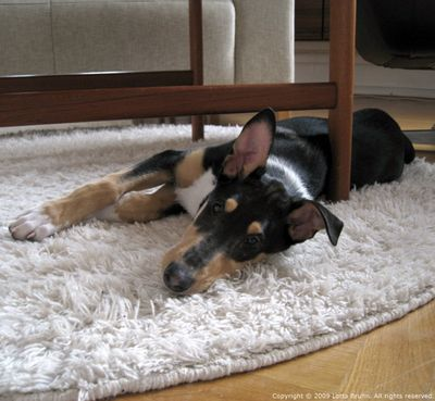 Balto_smooth_collie
